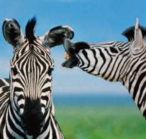Zebras telling stories