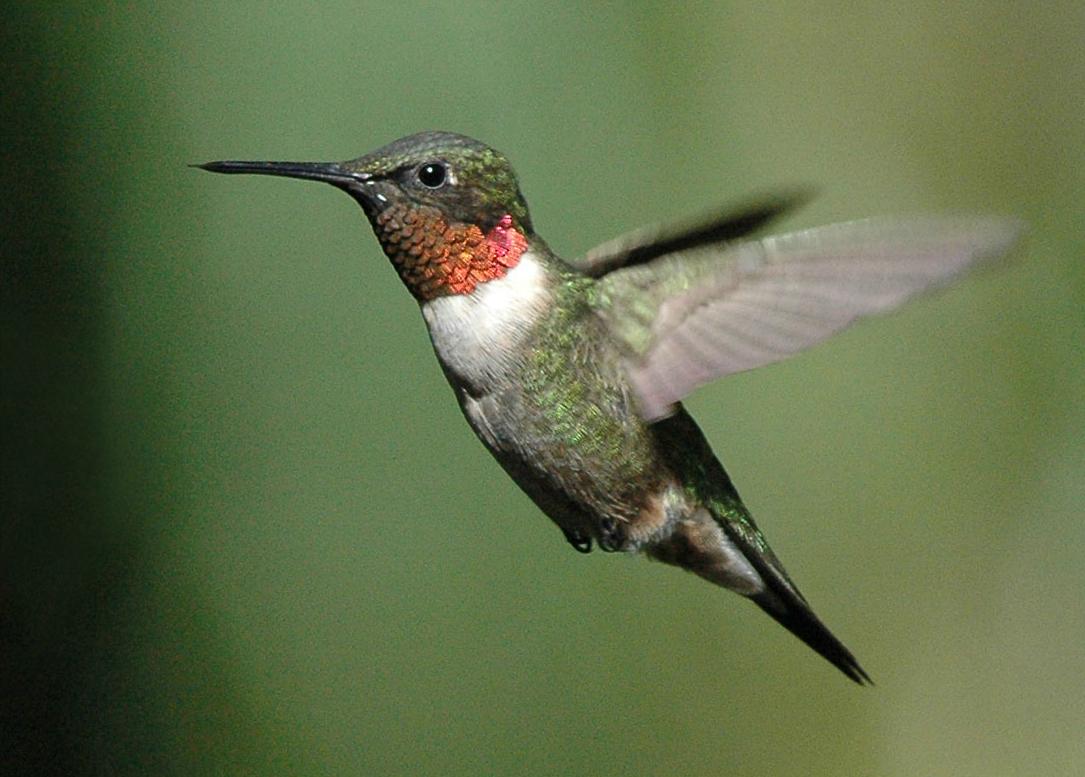 ruby red humming birds